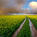 Canola Rainbow Path by Panorama Paul