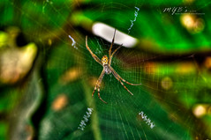 St. Andrew's Cross Spider | another HDR =) my second one here on flickr