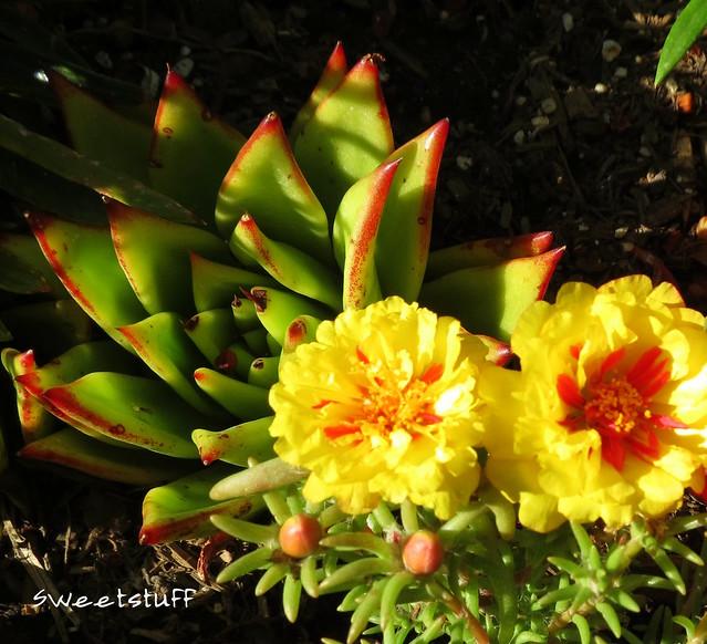 Echeveria agavoides and portulaca