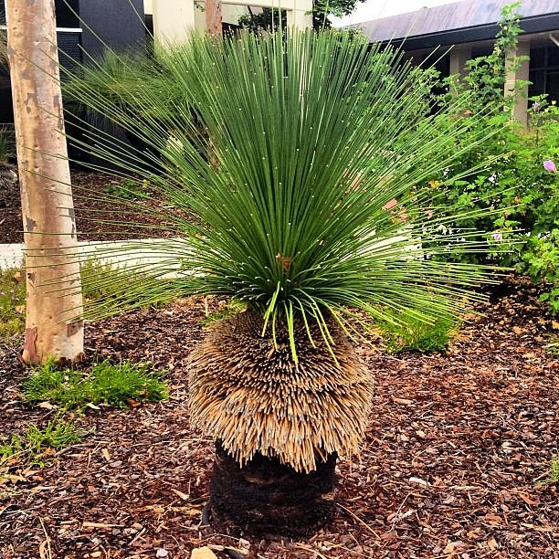 grass tree  a k a   blackboy  xanthorrhoea   a  plant native to  australia   perth  travel