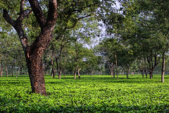 Tea Estate in Siliguri, West Bengal
