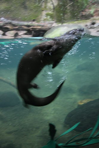Otter: Oregon Zoo 1/13/2013