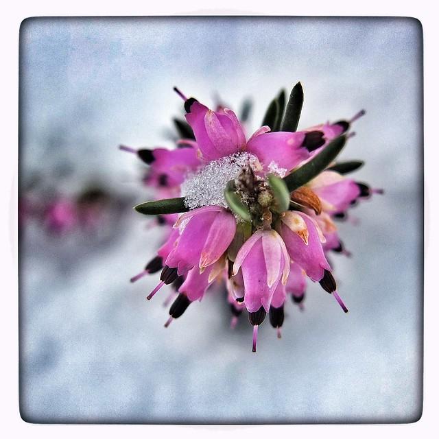 fleur d hiver flickr photo