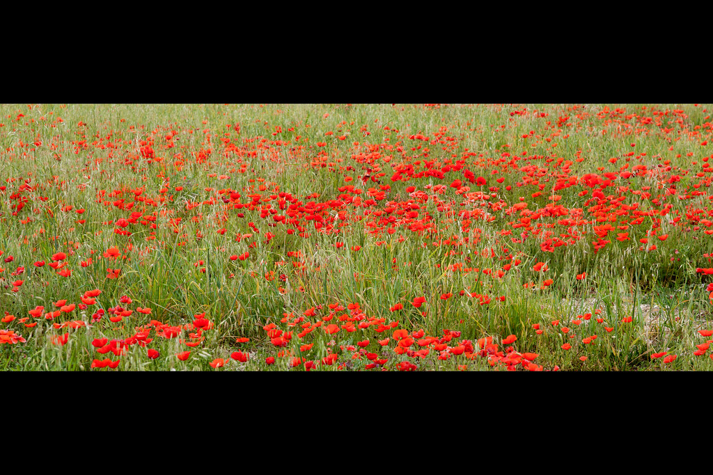 """Les Coquelicots"" / ""Poppies Blooming"""