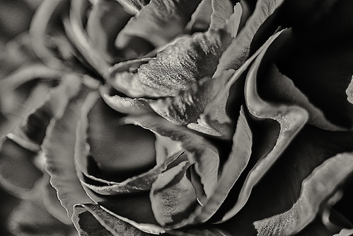 Rose closeup in black and white by joeeisner