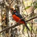 Scarlet-bellied Mountain-Tanager (Roger Wasley)