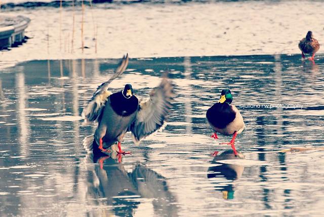 Duck & Bird