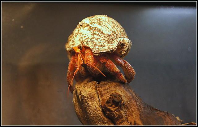 Coenobita perlatus