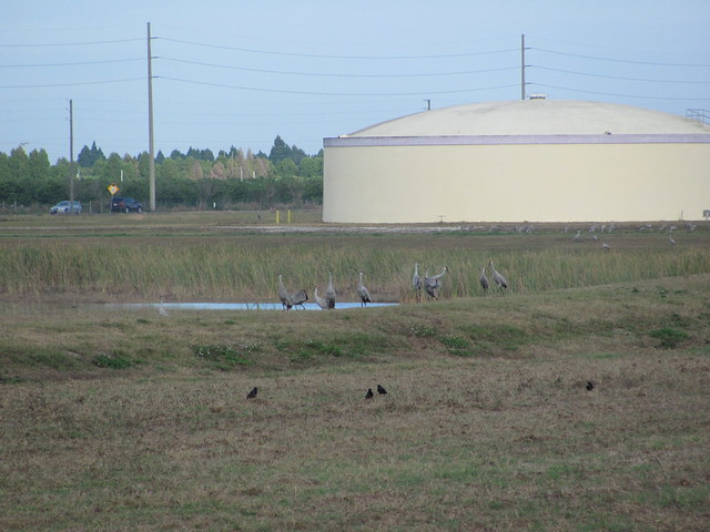 Sandhill Cranes everywhere