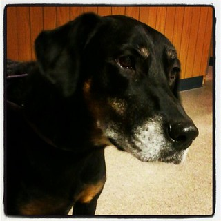 Lola waiting for check out at the vet  #dogs #dobermanmix #dobiemix #rescue #adoptdontshop #dogstagram #love #bigdog