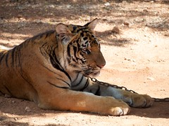 Resting in shade at Tiger temple