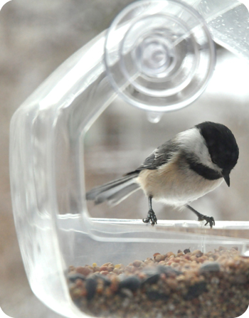 Black-capped chickadee in our new feeder!