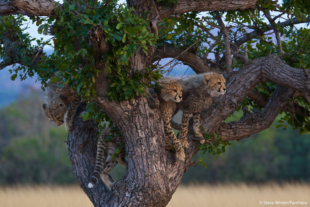 Cheetah cubs in a tree in South Africa's Phinda Private Game Reserve