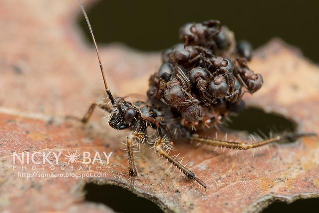 Ant-Snatching Assassin Bug (Acanthaspis sp.) - DSC_1831