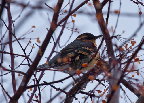 Varied Thrush, Duluth CBC