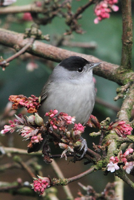 Blackcap in our garden