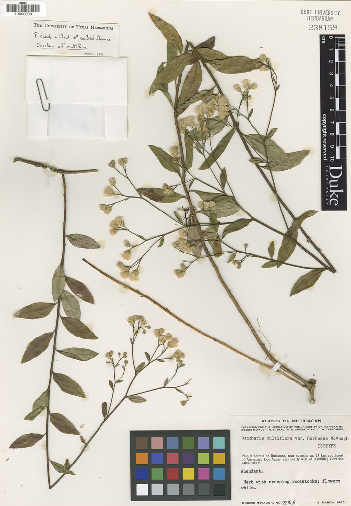 Asteraceae_Baccharis multiflora