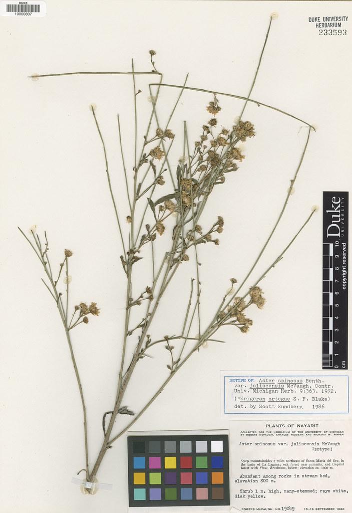 Asteraceae_Aster spinosus