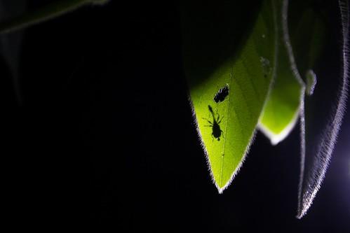 Weevils, Madagascar