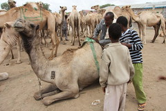 Camel Market (54)