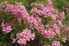 rosa wichuraiana, shrub, flower, plant, lilac, azalea,