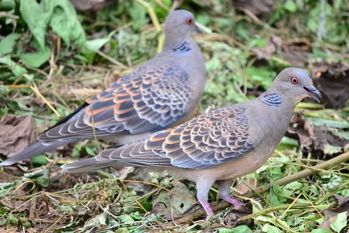 二羽のヤマバト (Two Oriental Turtle Doves)