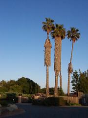 california_palm_trees2