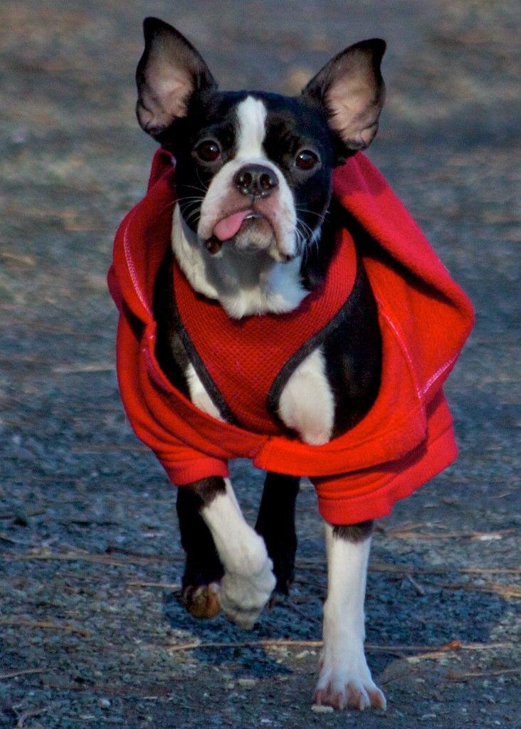 B Is For Boston Terrier Charltons Cove - Nova ...