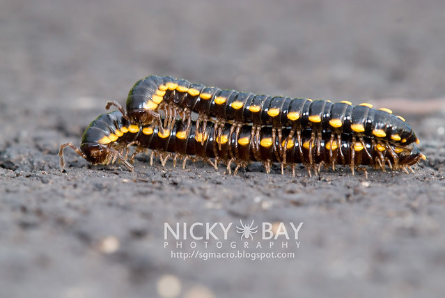 Yellow-Spotted Millipedes (Anoplodesmus sp.?) - DSC_9992