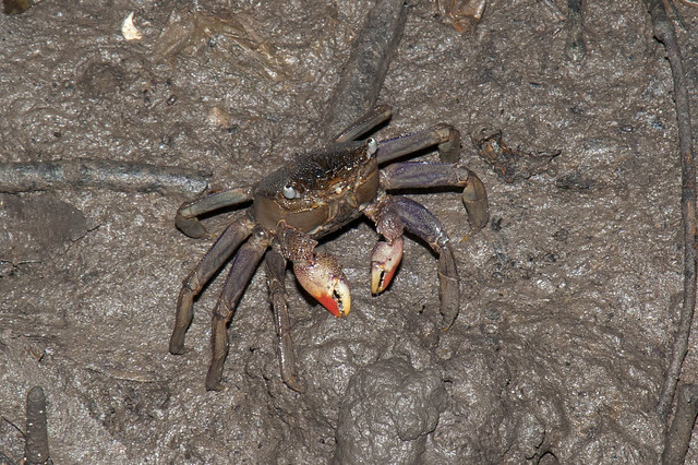 Tree climbing crab (Episesarma sp.)