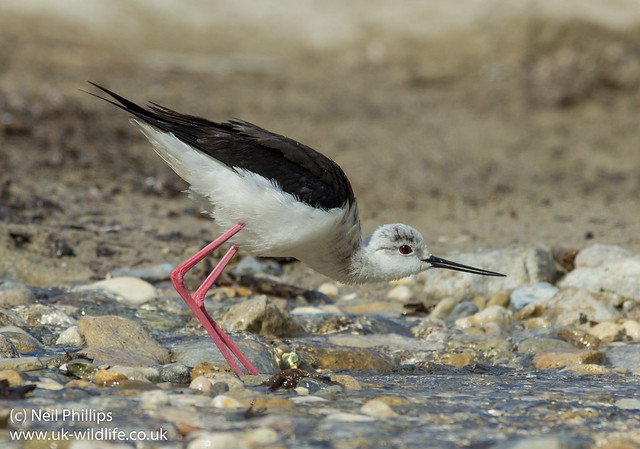 black winged stilt drinking 3