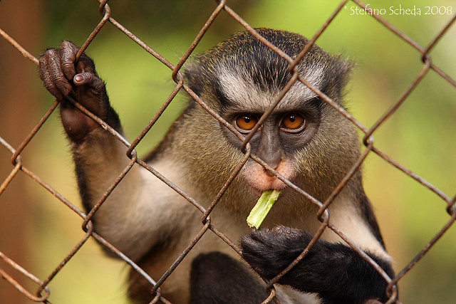 Guenon - Limbe Wildlife Centre, Cameroon