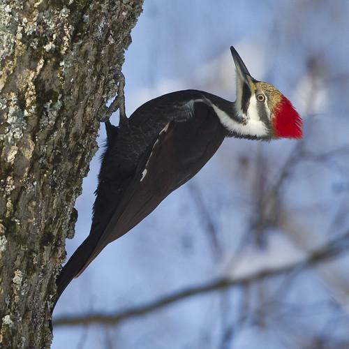 ohio clarksville dryocopuspileatus pileatedwoodpecker cowanlake