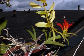 Aeschynanthus and Dendrobium Keiki