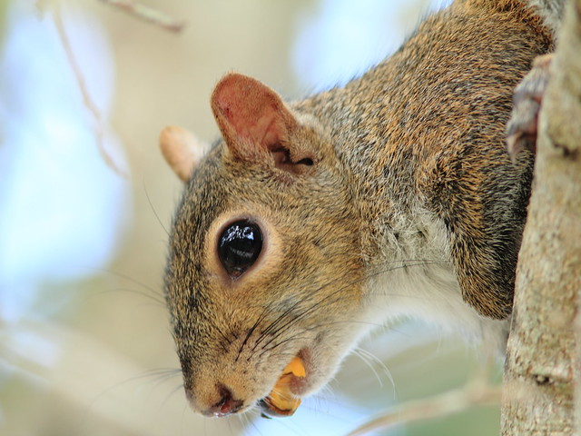 Gray Squirrel eating cocoplum 20121231