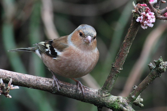 Chaffinch in our garden. New Year's Day