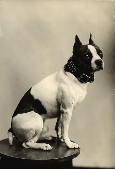 Early 1900s Boston Terrier Flickr Photo Sharing