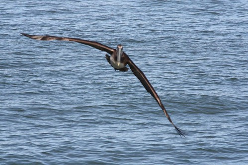 Incoming!  Brown Pelican