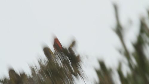 redcrossbill