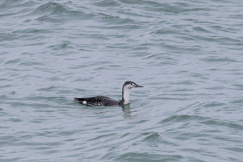Red Throated loon by ricmcarthur