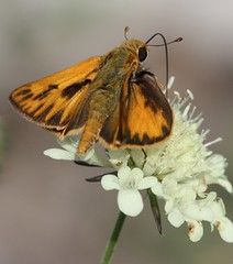 Male Fiery Skipper on Yelllow Pincushion Flower