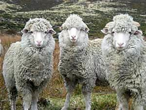 Falkland Sheep 2