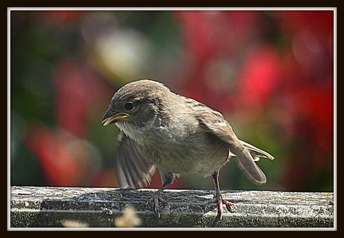 Baby Sparrow Waiting To Be Fed