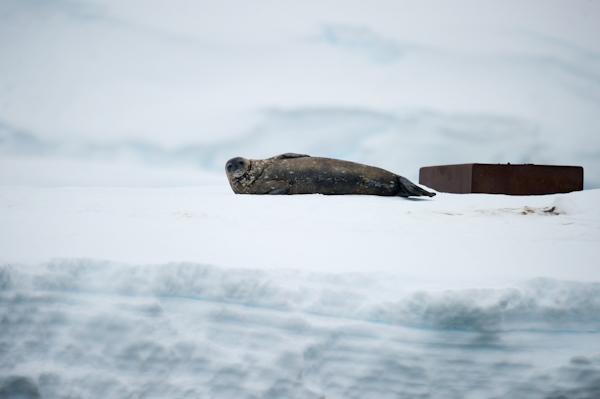 RYALE_Antarctica_Seals-1