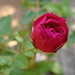 Red Rose by •Saif•