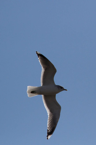 Mew Gull from below