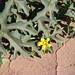 Small photo of Cucurbitella aspera of the Cucurbitaceae