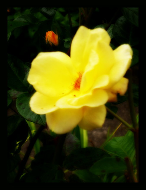 Yellow Rose Explore, Panasonic DMC-FX77