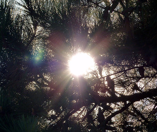 Sun Thru Pine Tree