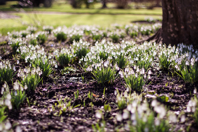 Snowdrops glowing in the sunshine